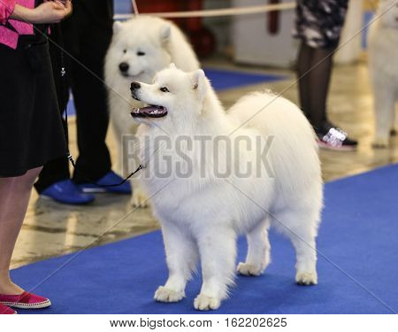 Cute samoyed dog with owner at show