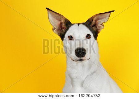 Funny Andalusian ratonero dog on yellow background