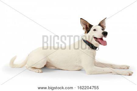 Funny Andalusian ratonero dog on white background