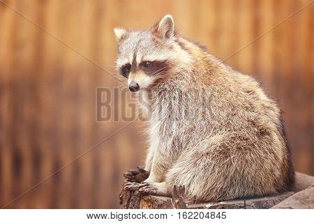 Cute funny raccoon on blurred background
