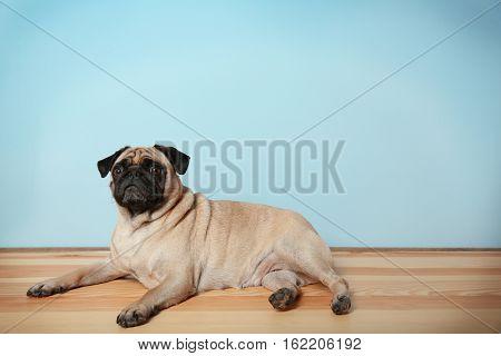 Adorable pug dog lying on floor