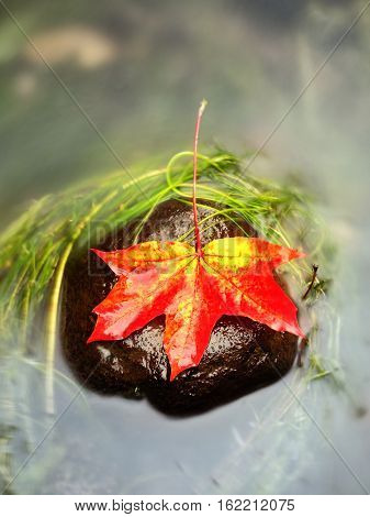Caught Yellow Orange Maple Leaf On  Long Green Algae Stone. Colorful Symbol