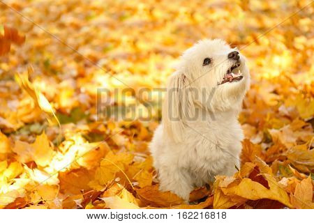 Cute dog on autumn leaves background