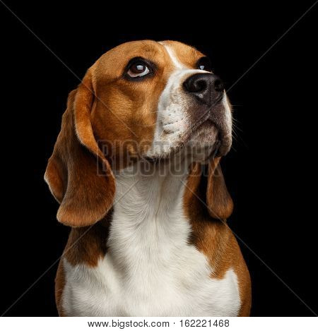 Close-up head of Young Beagle dog looking on owner on isolated black background, front view
