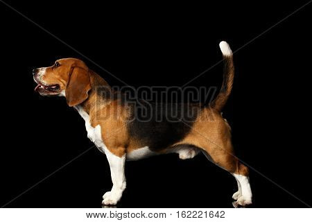 Young Beagle dog standing on isolated black background, side view