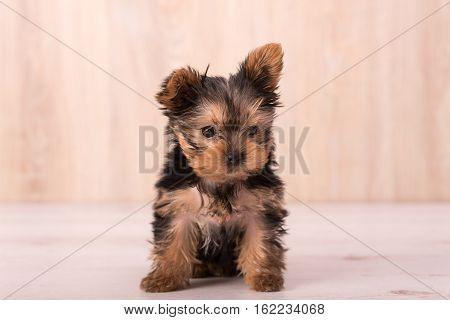 Beautiful Puppy Yorkshire Terrier Posing