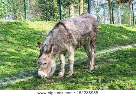 Donkey on a green meadow eating grass.