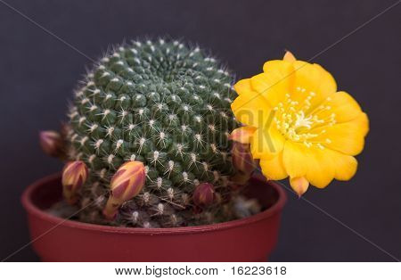 Cactus with blossoms on dark background (Rebutia).Image with shallow depth of field. poster