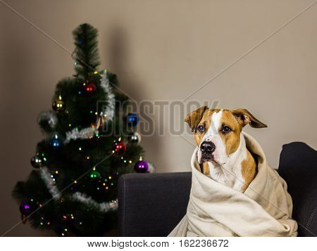 Puppy on couch in throw blanket in front of fur tree. Staffordshire terrier dog sits on sofa in plaid in front of decorated new year pine tree at home