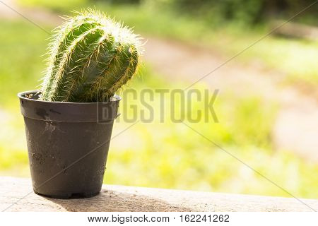 Cactus pot on  wooden and green background.Close up.