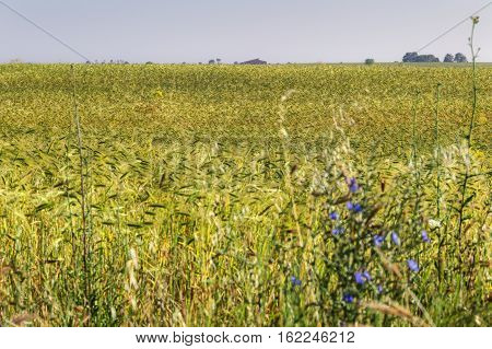 Spring landscape.Alta Murgia National Park: cereal field with green ears.Italy,Apulia.Cultivation of unripe barley.