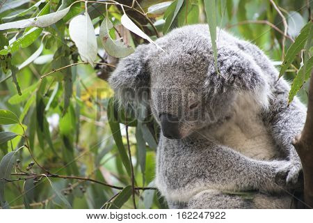 Koala in Gumtree looking down in Australia