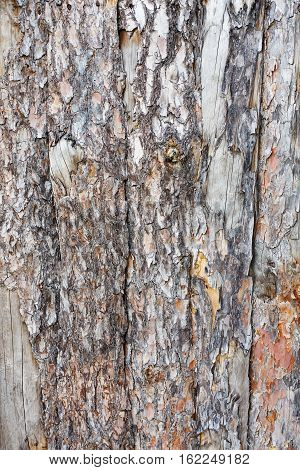 Natural tree bark plank texture. Untreated natural rustic wood background, rough timber plant surface. Weathered grunge styled fence. Vertical