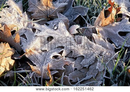 Oak leaves on a meadow in winter