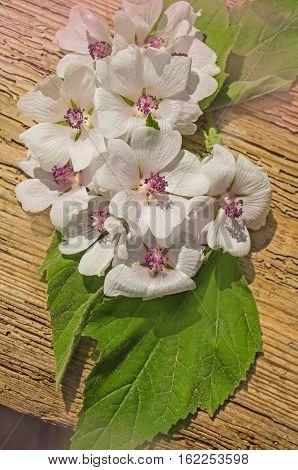 Althaea Officinalis  Plant