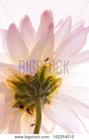 Beautiful translucent soft focus flowers back lit with tiny insects on it.