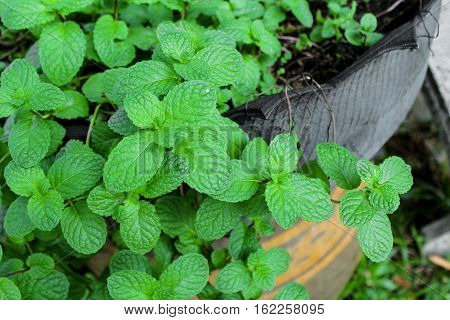 fresh mint plant grow at vegetable garden