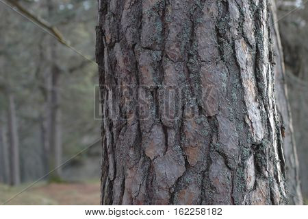 Closeup of the texture of Scot's pine bark