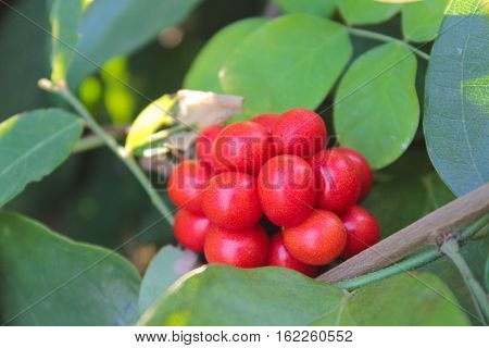 Tiliacora triandra or Thailand call Bai ya nang leaf and fruit