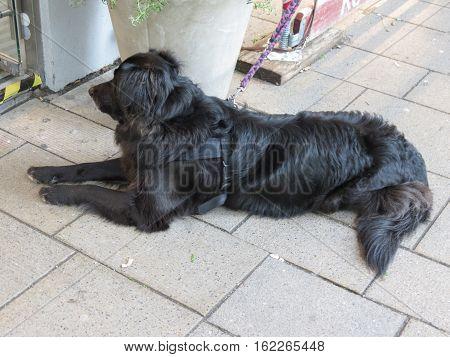 Black domestic dog aka Canis lupus familiaris mammal animal