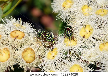 Australian Fiddler Beetles or Rose Chafers, Eupoecila australasiae, feeding on nectar of white blossoms of the gumtree Angophora hispida. Royal National Park, Sydney. Member of Scarab beetle family.
