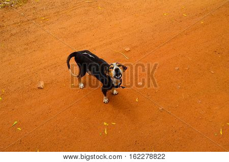 Beagle dog on the trail in the park, puppy barking