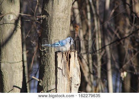 Blur Jay bird sitting on fence post in the winter