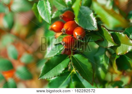 Briar fruit wild rose hip shrub in nature.