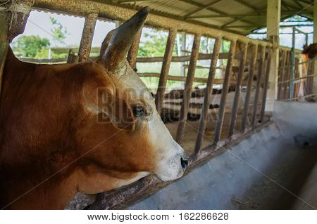 Cow in shed in the farm agriculture