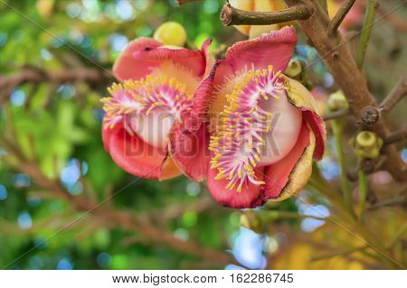 cannonball tree is a deciduous tree in the family Lecythidaceae which also contains the Brazil nut (Bertholletia excelsa). It is native to the rainforests of Central and South America.It is cultivated in many other places.