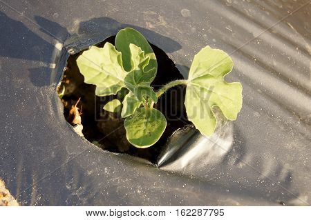 Watermelon Above In Vitro Are Waiting To Grow