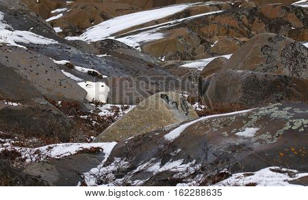 An arctic hare lies camouflaged against snow and boulders on the coast of the Hudson Bay.
