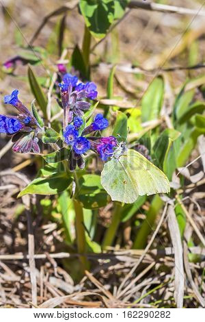 Day Gonepteryx butterfly (Gonepteryx) feeds on nectar from the blossom of the softest Lungwort (Pulmonaria dacica Simonk)