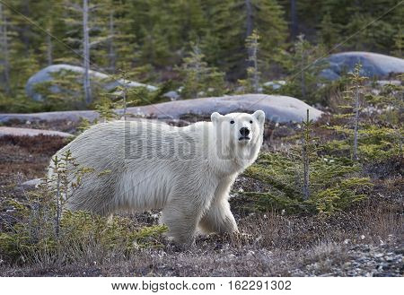 Profile image of a young polar bear walking amongst some pine trees.  Churchill, Manitoba, Canada.