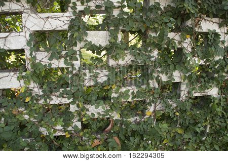 Ivy covers a wall in the yard of a historic home in Wilmington North Carolina