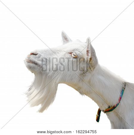 Beautiful, cute, young white goat isolated on white background. Farm animals. Funny goat try to kiss someone. White goat with a beard isolated on white