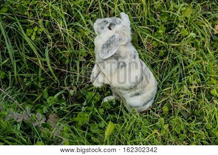 Aries Dwarf rabbit and curious and is on the grass