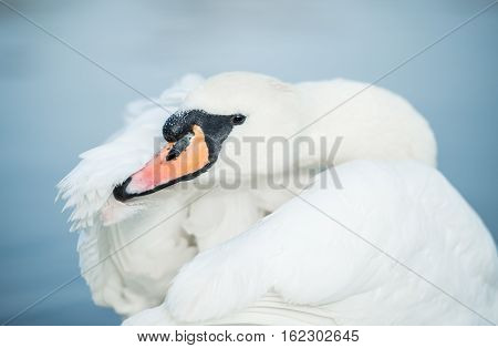 Swan at the morning cleaning the Hyde park London