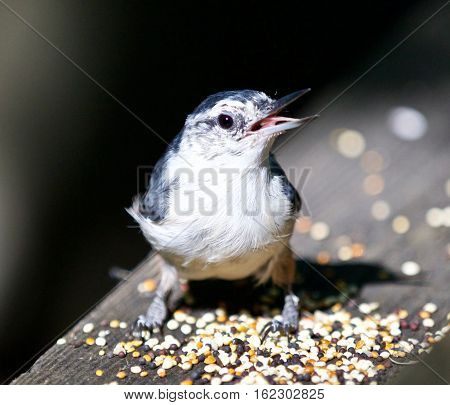 Beautiful Isolated Photo With A Funny White-breasted Nuthatch Bird
