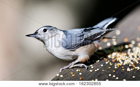 Beautiful Isolated Picture With A Cute White-breasted Nuthatch Bird