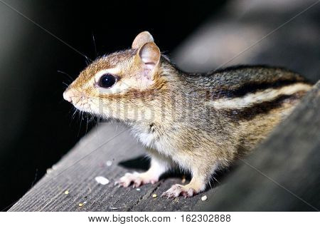 Beautiful Isolated Picture Of A Cute Chipmunk On The Hedge