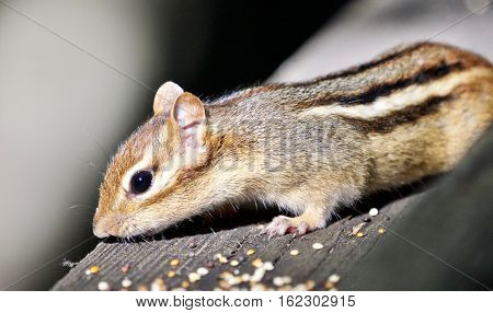 Beautiful Isolated Image Of A Cute Chipmunk On The Hedge