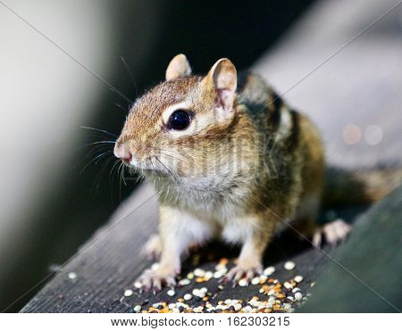 Beautiful Isolated Image With A Cute Chipmunk On The Wooden Hedge