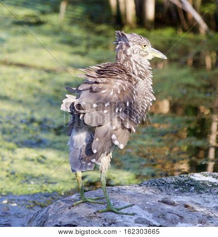 Background With A Funny Black-crowned Night Heron Shaking Her Feathers On A Rock