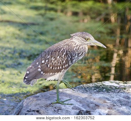 Isolated Photo Of A Funny Black-crowned Night Heron Standing On A Rock