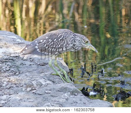 Isolated Photo Of A Funny Black-crowned Night Heron Walking Towards The Shore
