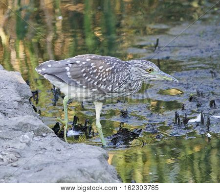 Isolated Picture Of A Funny Black-crowned Night Heron Walking Towards The Shore