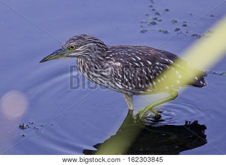 Picture Of A Funny Black-crowned Night Heron In The Water