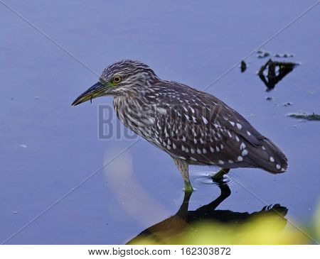 Isolated Picture Of A Funny Black-crowned Night Heron In The Water