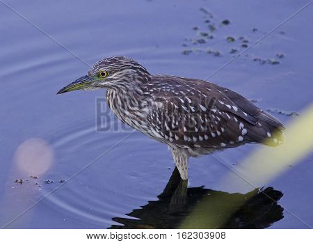 Background With A Funny Black-crowned Night Heron In The Water